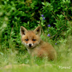 Photographe animalier Florent Perville
